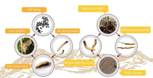 Quá trình hình thành đông trùng hạ thảo nguyên con Tây Tạng quý hiếm