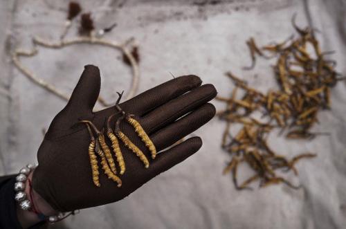 Lộc trời ban- đông trùng hạ thảo nguyên con Tây Tạng