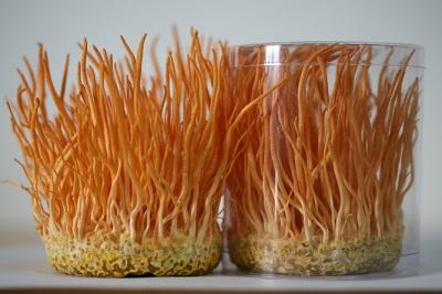 Đông trùng hạ thảo tươi việt nam nguyên chất thượng hạng
