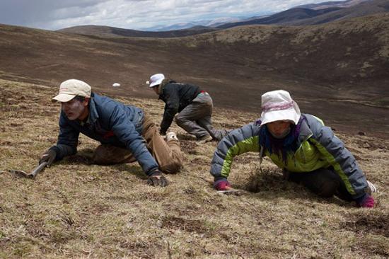 Rượu đông trùng hạ thảo Tây Tạng-thức uống quý giá