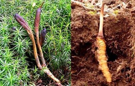 nuôi trồng đông trùng hạ thảo