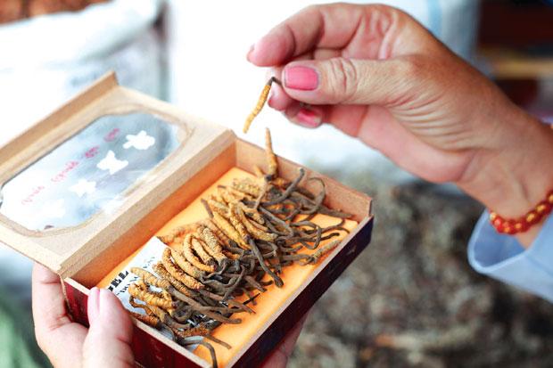 Phân phân biệt đông trùng hạ thảo bằng mùi