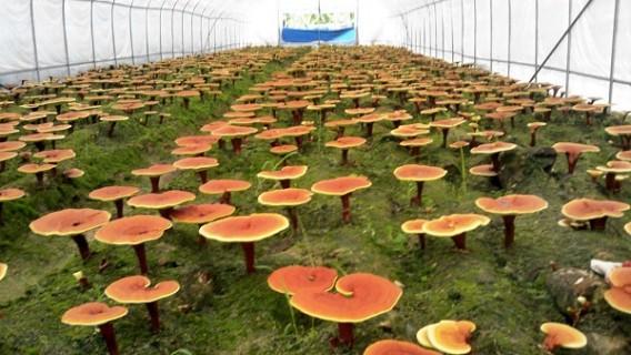 quy trình nuôi trồng nấm linh chi uhak hàn quốc