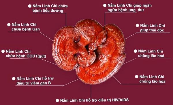Tác dụng đặc biệt của nấm linh chi trên hệ miễn dich 1