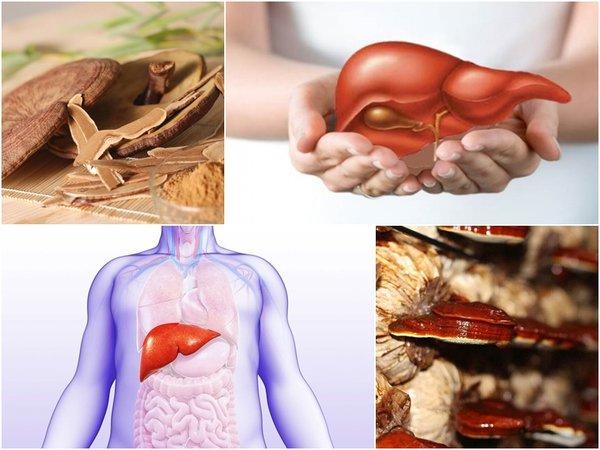 nấm linh chi có tác dụng gì đối với bệnh gan