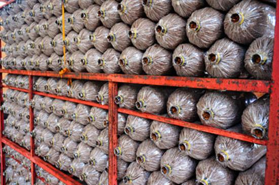 Năng suất cao với ký thuật nuôi trồng nấm linh chi trên bã mía