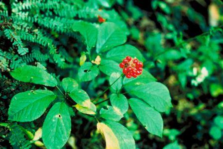 hoa của cây nhân sâm hàn quốc