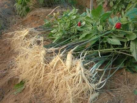 cách trồng nhân sâm hàn quốc