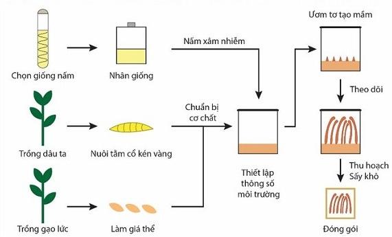 quy trình nuôi trồng đông trùng hạ thảo