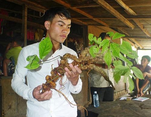 đặc điểm và tác dụng của sâm ngọc linh Việt Nam