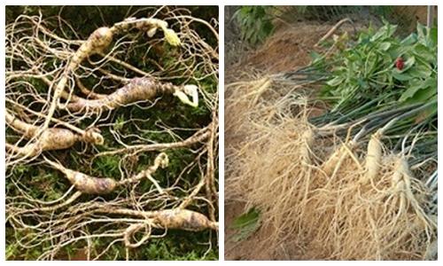 cách phân biệt nhân sâm rừng và nhân sâm trồng