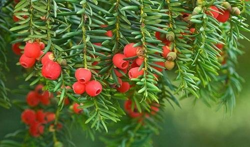 cây thông đỏ quý hiếm của Hàn Quốc