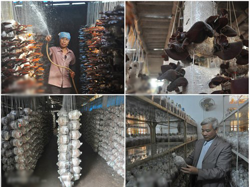 Chăm sóc và thu hoạch nấm linh chi