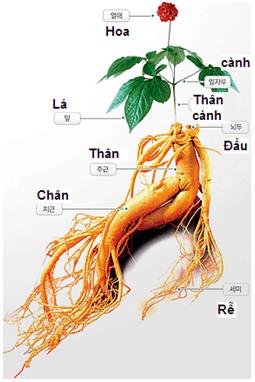 các thành phần có trong cây nhân sâm hàn quốc