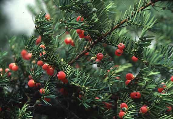 Tinh dầu thông đỏ được lấy từ cây thông đỏ