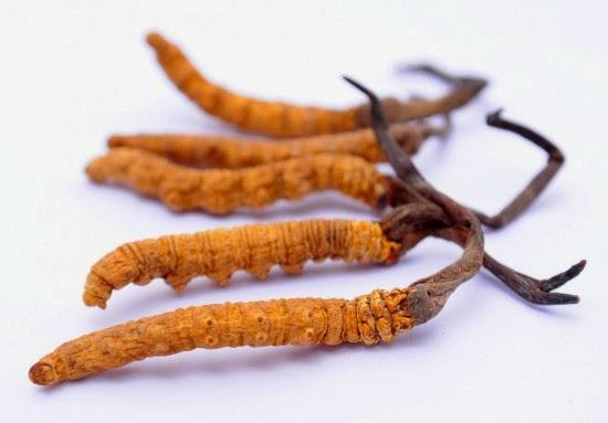 quà tết đông trùng hạ thảo